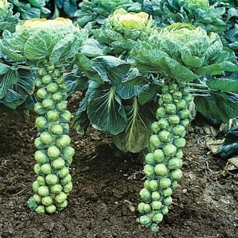 Brussels-sprout-plant