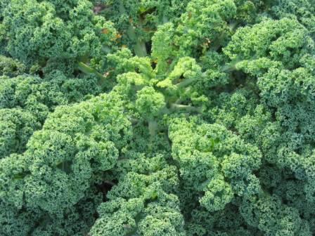 Kale-crop