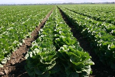 Romaine-Lettuce-Crop