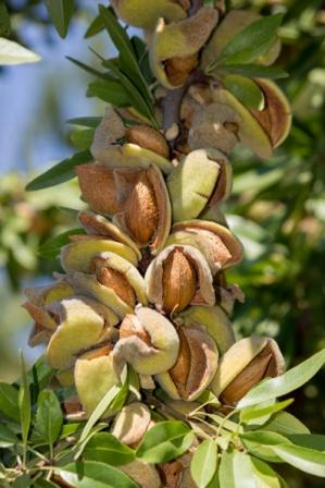 almonds on tree