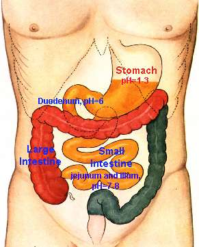 10 Interesting Facts About Stomach   WhatThaFact.com