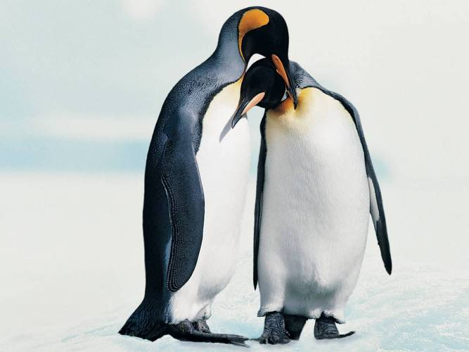 Penguins Making Love