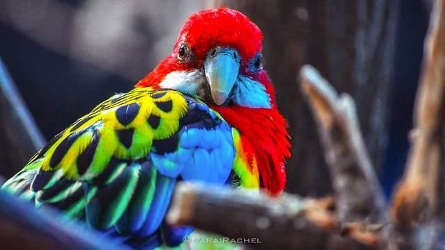 Honduras National Bird Scarlet Macaw Photo By Rachel Samanyi