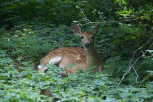 Honduras National Animal, White-Tail Deer - Photo by David Baron
